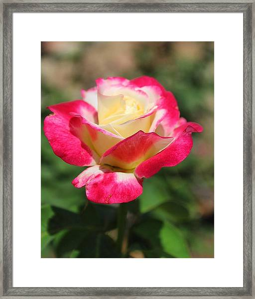 Red And Yellow Rose Framed Print