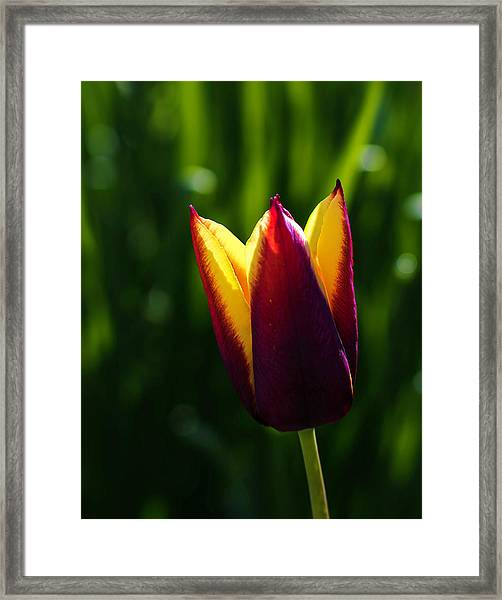 Red And Yellow Tulip Framed Print