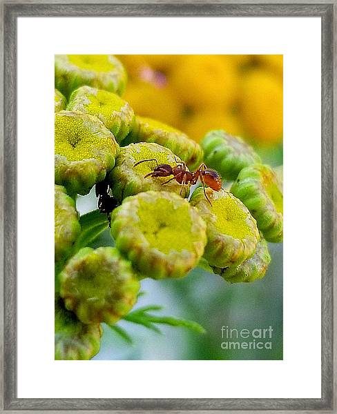 Red Ant Framed Print