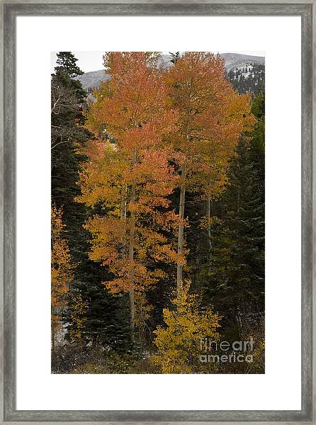 Red Aspens Framed Print