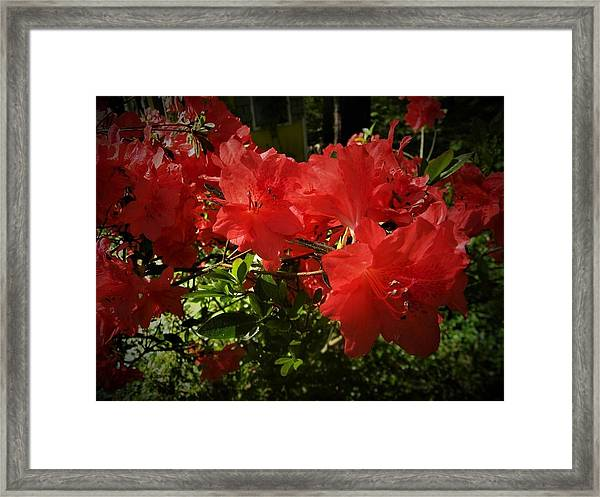 Red Azalea Framed Print