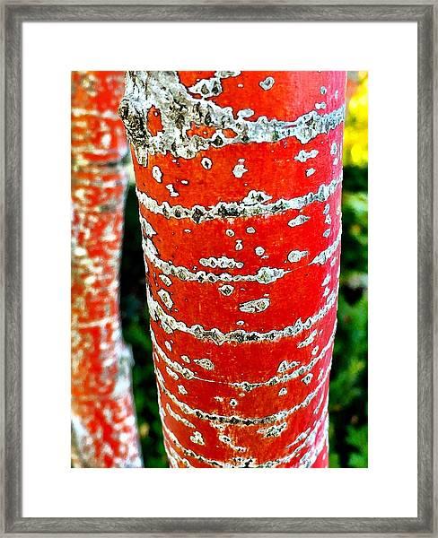 Red Bark Birch Framed Print