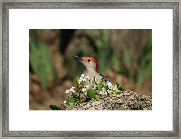 Red-bellied Woodpecker In Spring Framed Print