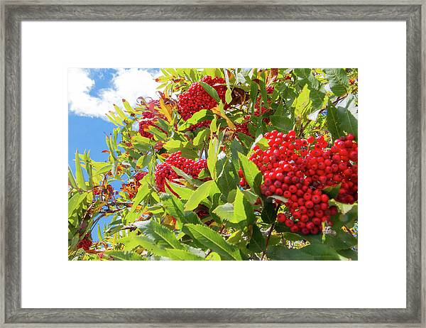 Framed Print featuring the photograph Red Berries, Blue Skies by D K Wall