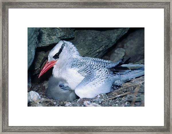 Red-billed Tropicbirds Cuddling  Framed Print