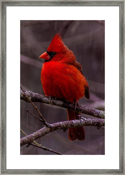 Red Bird Framed Print