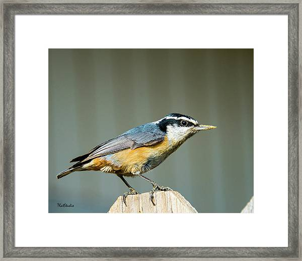 Red-breasted Nuthatch Framed Print