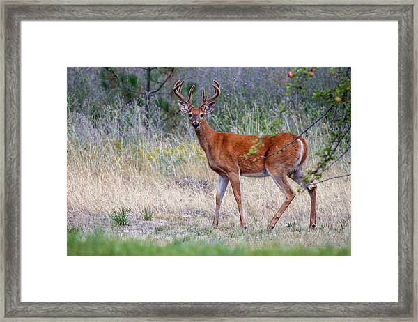 Framed Print featuring the photograph Red Bucks 1 by Antonio Romero
