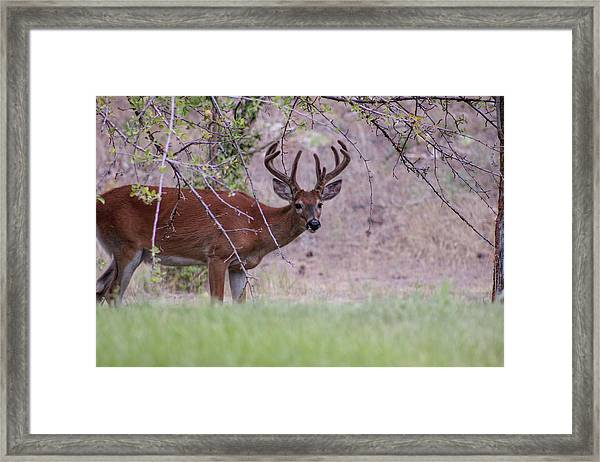 Framed Print featuring the photograph Red Bucks 2 by Antonio Romero