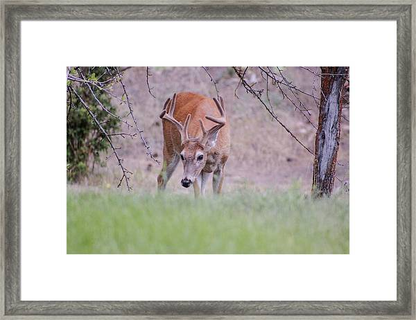 Framed Print featuring the photograph Red Bucks 6 by Antonio Romero