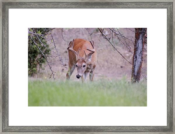 Red Bucks 6 Framed Print
