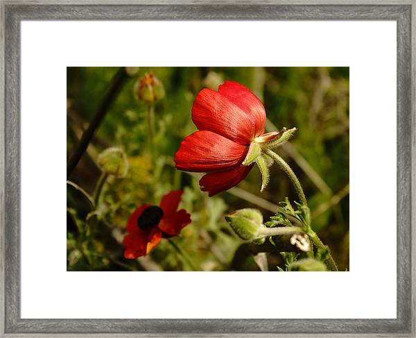 Red Buttercup Framed Print