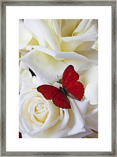 Red Butterfly On White Roses Framed Print