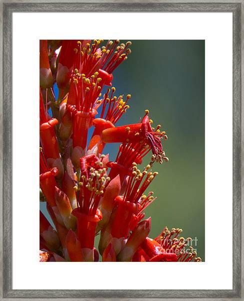 Red Cactus Flower 1 Framed Print
