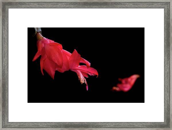 Red Cactus Flower Framed Print