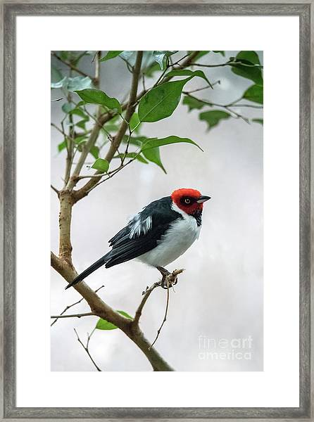 Red Capped Cardinal 2 Framed Print