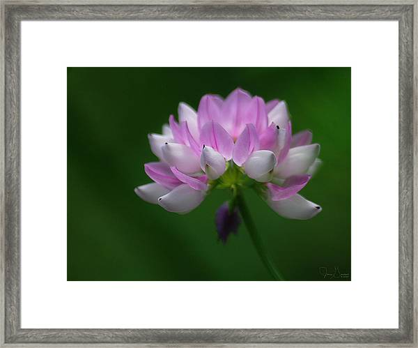 Red Clover Framed Print