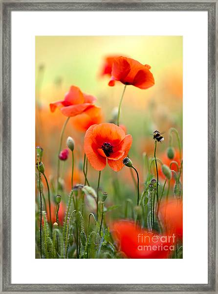 Red Corn Poppy Flowers 06 Framed Print