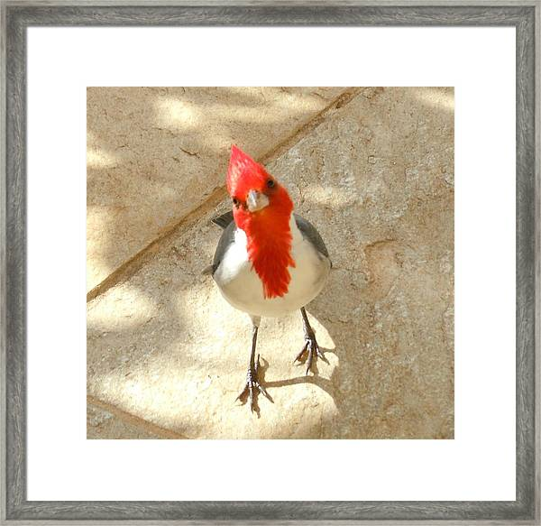 Red-crested Cardinal At My Feet Framed Print