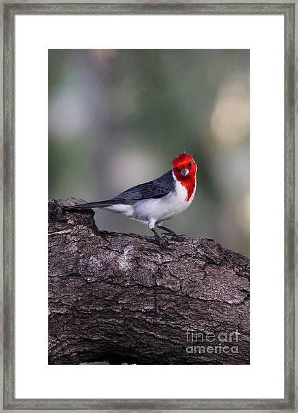 Red Crested Posing Framed Print