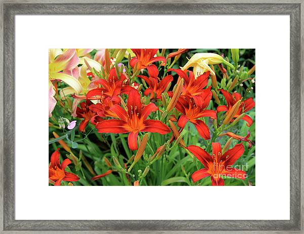 Red Daylilies Framed Print