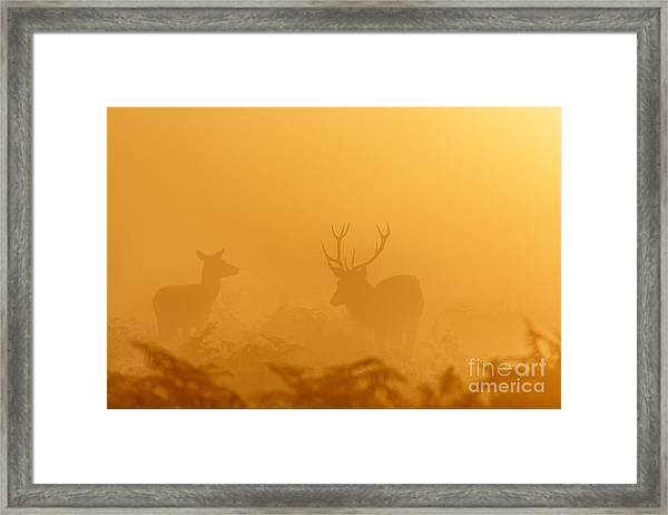 Red Deer At Sunrise Framed Print