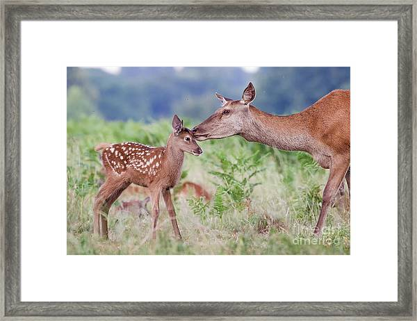 Red Deer - Cervus Elaphus - Female Hind Mother And Young Baby Calf Framed Print