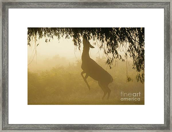 Red Deer - Cervus Elaphus - Hind Browsing Or Feeding On Willow Le Framed Print