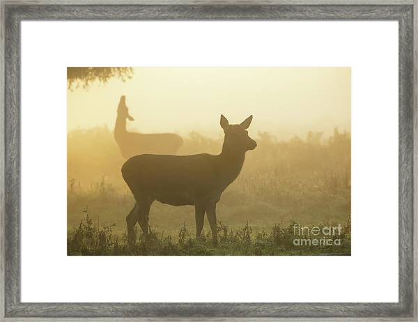 Red Deer - Cervus Elaphus - Hinds Browsing On Willow On A Misty M Framed Print