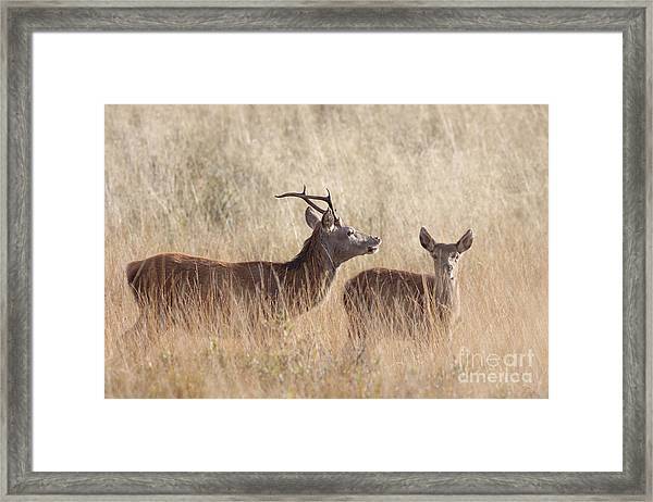 Red Deer Stag And Hind Framed Print