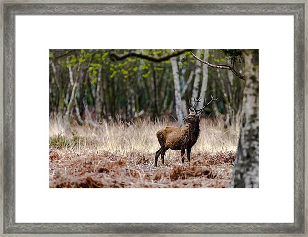 Red Deer Stag Framed Print