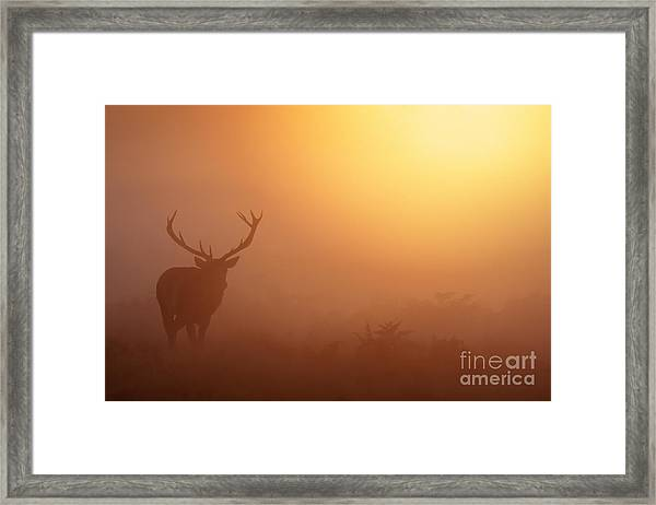 Red Deer Stag At Sunrise Framed Print