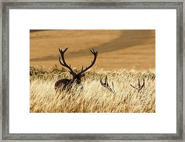 Red Deer Stags At Sunset Framed Print