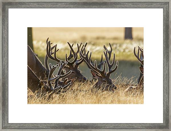Red Deer Stags In Velvet Framed Print