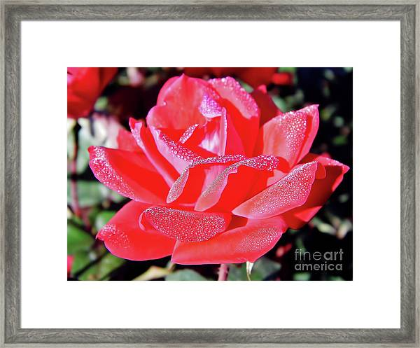 Red - Dew Covered  - Rose Framed Print