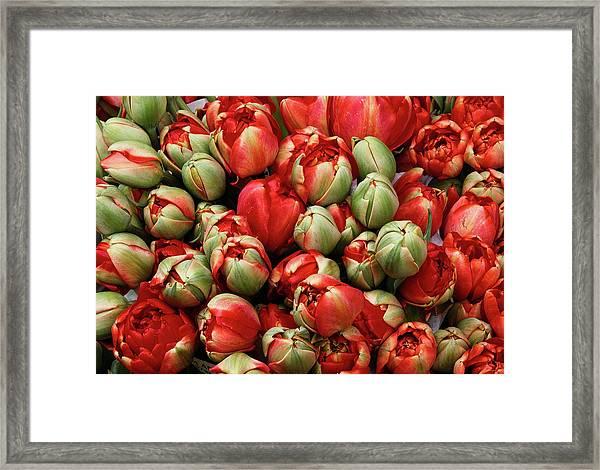 Red Elegant Blooming Tulips  Framed Print