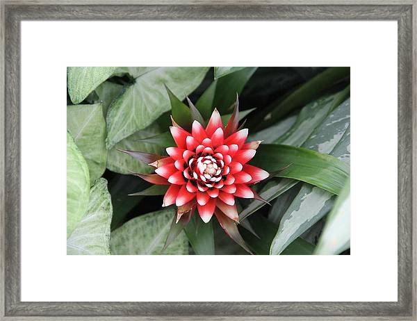 Red Flower With White Tips Framed Print