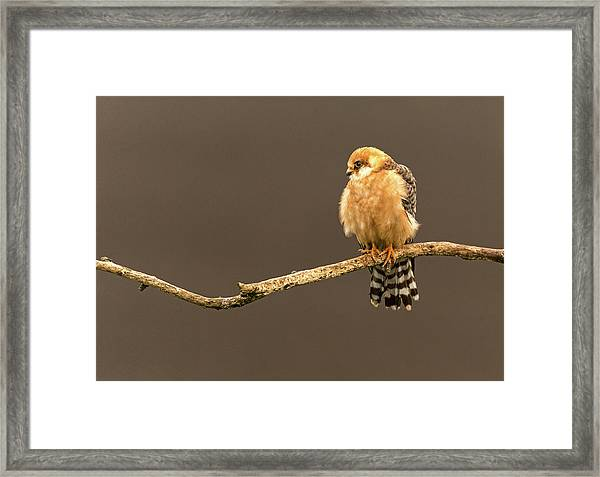 Red-footed Falcon Framed Print