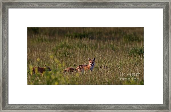 Red Fox Family Framed Print