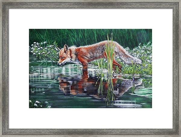 Red Fox Reflecting Framed Print