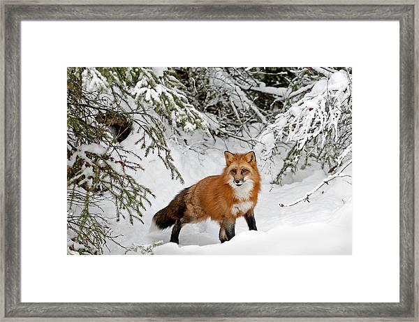 Red Fox In Winter Framed Print