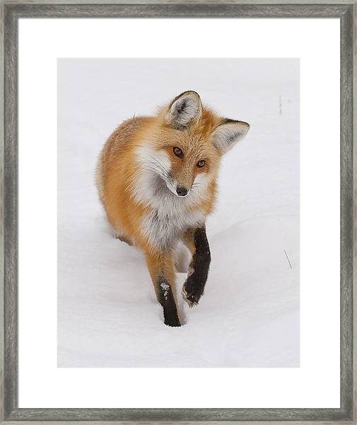 Red Fox Portrait Framed Print