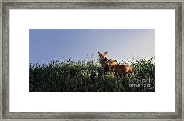 Red Fox Morning Framed Print