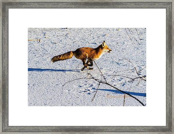 Red Fox On The Run Framed Print