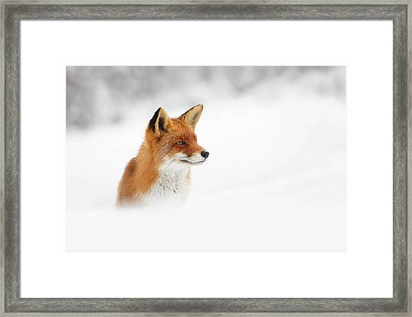 Red Fox Out Of The Blue Framed Print