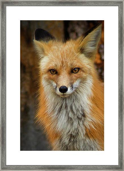 Framed Print featuring the photograph Red Fox Portrait by John De Bord