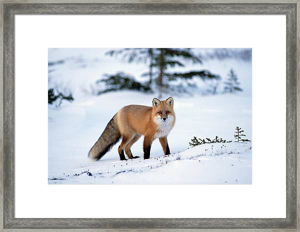 Red Fox Vulpes Vulpes Portrait Framed Print