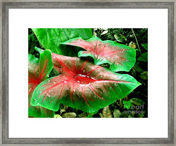 Framed Print featuring the painting Red Green Caladium Floral Still Life Morning Rain by Mas Art Studio