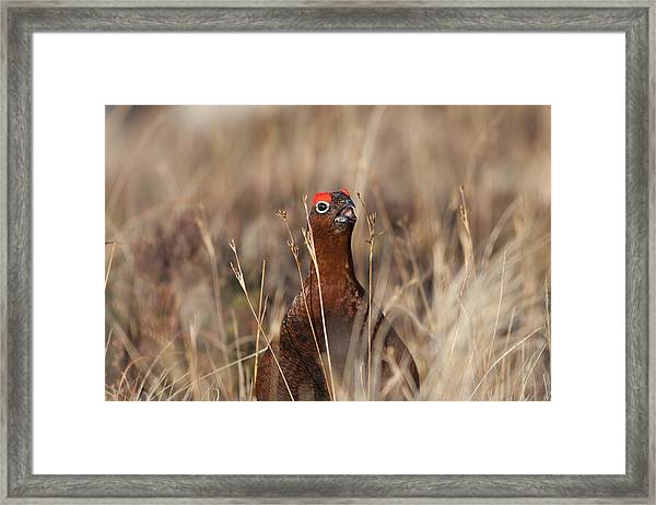 Red Grouse Calling Framed Print