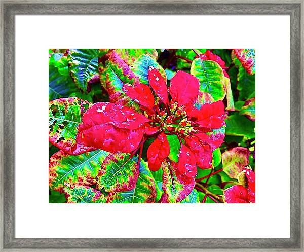 Red Hawaiian Poinsettia Framed Print